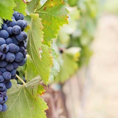 wine_tour_grape_world_travel_bound